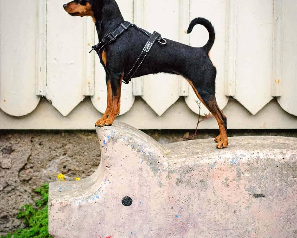 Konstepidemin - Hund på Gris